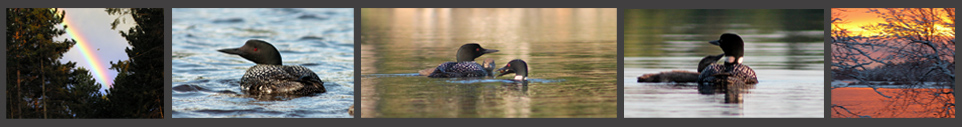 loons,birds,wisconsin birds,wisconsin loons,baby loon pictures,northernexposureclaimsservice.com, Northern Exposure Claims Service, Tomahwak,St. Germain, Wausau, Wisconsin, loons,north american look photos